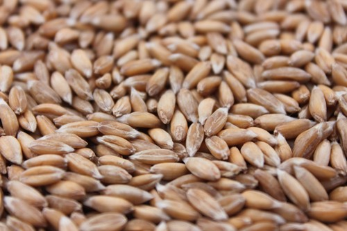 Spelt wheat: Zollernspelz
