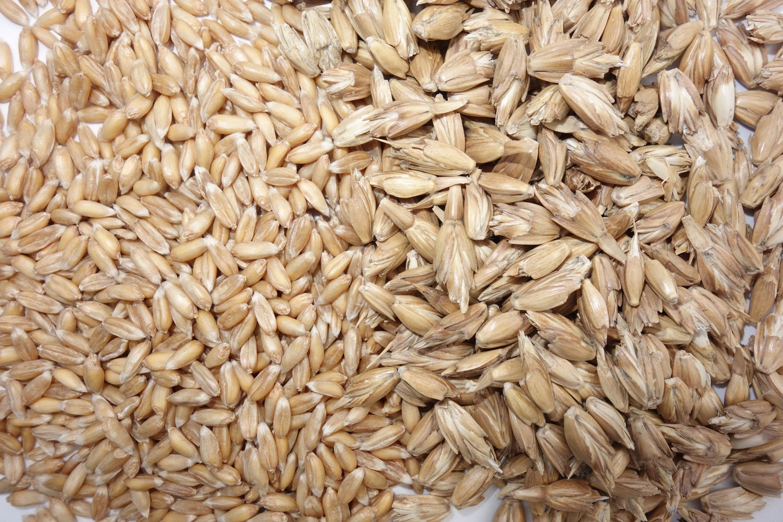 Spelt wheat: Oberkulmer Rotkorn