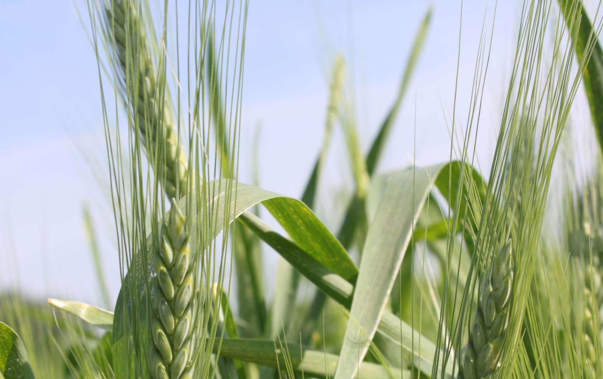 Späths Albjuwel, emmer wheat (triticum dicoccum)