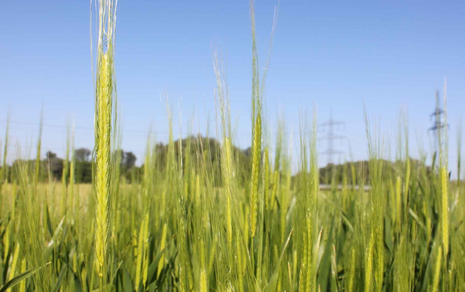 Monoverde, einkorn wheat (triticum monococcum)