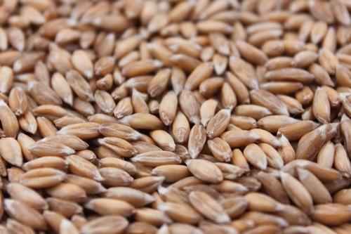 Spelt eco seeds: Zollernspelz