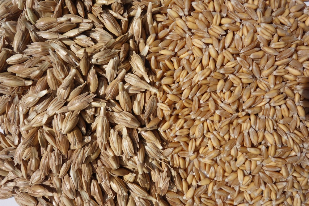 Spelt eco seeds: Zollernperle