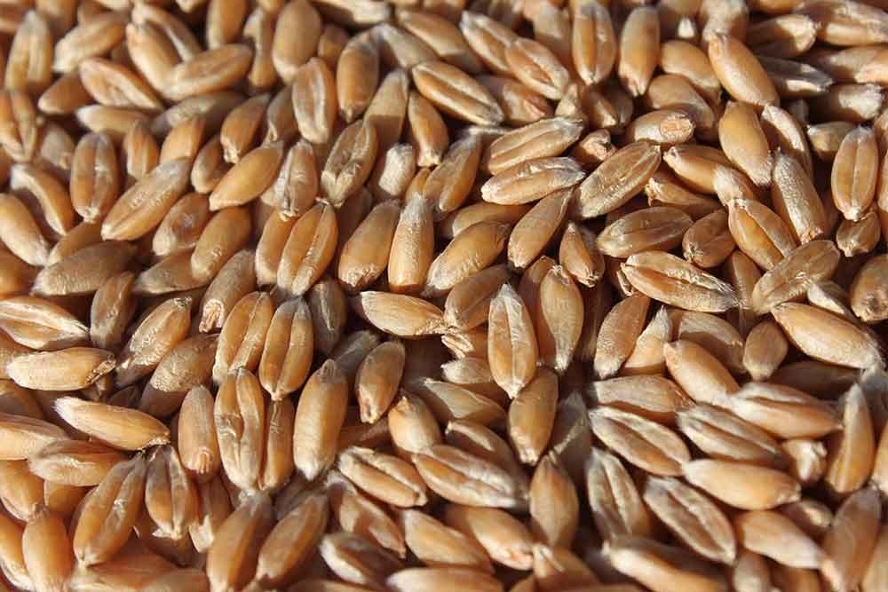 Spelt eco seeds: Zollernfit
